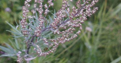 Il genere Artemisia: varietà terapeutiche